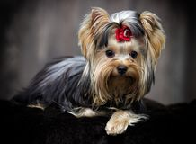 Yorkshire terrier dog looking Stock Photography