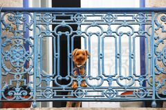 Yorkshire terrier dog looking from the balcony