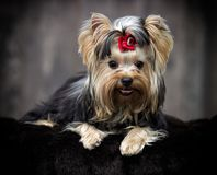 Yorkshire terrier dog looking Royalty Free Stock Photo