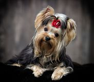 Yorkshire terrier dog looking Royalty Free Stock Image