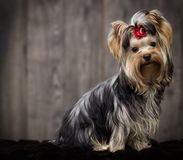 Yorkshire terrier dog looking Stock Photos