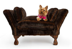 Yorkshire Terrier dog on a luxury fur bed. A cute Yorkshire Terrier dog sitting on a designer chaise lounge chair covered in fur. Isolated on white Stock Image