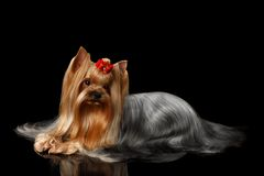 Yorkshire Terrier Dog Lying on Black Mirror Stock Image