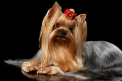 Yorkshire Terrier Dog Lying on Black Mirror Royalty Free Stock Images