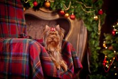 Yorkshire terrier dog, new year, christmas. Holidays tree, dog breed yorkie terrier in a beautiful fairy interior royalty free stock photo