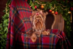 Yorkshire terrier dog, new year, christmas. Holidays tree, dog breed yorkie terrier in a beautiful fairy interior royalty free stock images