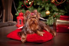 Yorkshire terrier dog, new year, christmas. Holidays tree, dog breed yorkie terrier in a beautiful fairy interior stock image