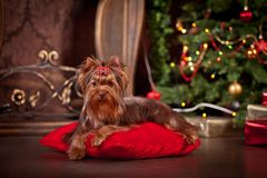 Yorkshire terrier dog, new year, christmas. Holidays tree, dog breed yorkie terrier in a beautiful fairy interior royalty free stock photos