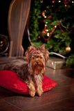 Yorkshire terrier dog, new year, christmas. Holidays tree, dog breed yorkie terrier in a beautiful fairy interior stock photo