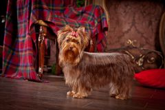 Yorkshire terrier dog, new year, christmas. Holidays tree, dog breed yorkie terrier in a beautiful fairy interior royalty free stock photography