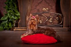 Yorkshire terrier dog, new year, christmas. Holidays tree, dog breed yorkie terrier in a beautiful fairy interior stock photos