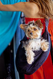 Yorkshire Terrier Dog Out Shopping. A pampered Yorkshire Terrier dog wearing a designer rhinestone collar and hair bow siting in a sling carrier being worn by a Stock Images