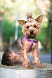 Yorkshire Terrier Dog outdoor Royalty Free Stock Image