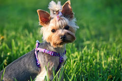 Yorkshire Terrier Dog outdoor in grass Royalty Free Stock Photography