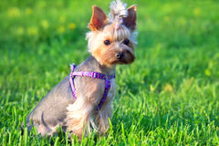 Yorkshire Terrier Dog outdoor in grass Stock Images