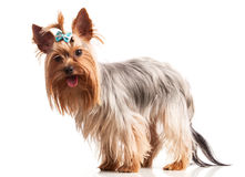 Yorkshire terrier dog over white Stock Photo