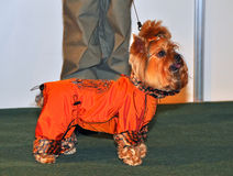 Yorkshire terrier dog in overalls Royalty Free Stock Images