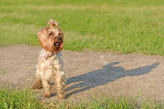 Yorkshire terrier dog in the park Stock Photos