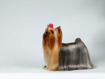 Yorkshire Terrier Dog in Profile Looking up on White Stock Photography