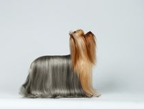 Yorkshire Terrier Dog in Profile Looking up on White Stock Images