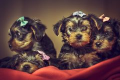 Yorkshire terrier dog puppies Stock Photos