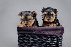 Yorkshire terrier Dog puppies portrait Royalty Free Stock Photo