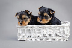 Yorkshire terrier Dog puppies portrait Royalty Free Stock Photography