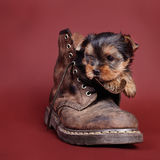Yorkshire terrier Dog puppy portrait Royalty Free Stock Photo