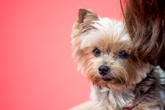 Yorkshire Terrier dog on red background. Yorkshire Terrier on red background with copy space, viewed in close-up. Owners hair is visible next to the dog stock photography