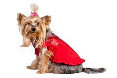 Yorkshire terrier dog in red clothes Royalty Free Stock Photography