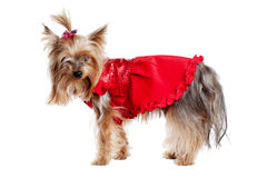 Yorkshire terrier dog in red clothes Stock Photos
