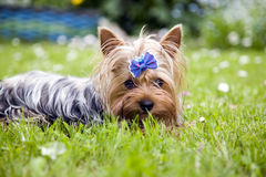 Yorkshire terrier dog with ribbon Royalty Free Stock Photography
