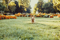 Yorkshire Terrier Dog running on the green grass Royalty Free Stock Photos