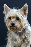 Yorkshire Terrier. Dog's head on a black background Stock Image