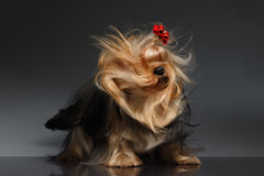Yorkshire Terrier Dog Shaking his Head on Black Mirror Stock Photography