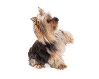 Yorkshire Terrier Dog Sitting and Extending Paw Royalty Free Stock Photos