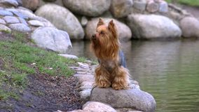 Yorkshire Terrier dog sitting on a rock near the lake stock video footage