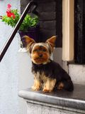Yorkshire terrier dog sitting waiting on step stoop. A Yorkshire terrier sits and waits patiently on a step outside his front door Royalty Free Stock Photography