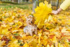Yorkshire terrier dog sitting on yellow leaves with a maple bouquet Royalty Free Stock Photo