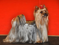 Yorkshire Terrier dog. The Yorkshire Terrier is a small dog breed of terrier type, developed in the 19th century in the county of Yorkshire, England, to catch stock photo