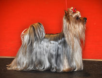 Yorkshire Terrier dog. The Yorkshire Terrier is a small dog breed of terrier type, developed in the 19th century in the county of Yorkshire, England, to catch royalty free stock photo