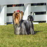 Yorkshire Terrier dog Stock Images