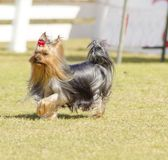 Yorkshire Terrier dog Stock Photography