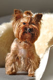 Yorkshire terrier dog on sofa Royalty Free Stock Photo