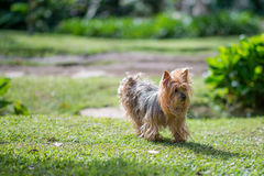 Yorkshire Terrier Dog. Standing in a Windy Day Stock Images