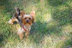 Yorkshire terrier dog stands on the grass Stock Images
