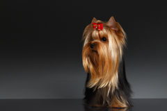 Yorkshire Terrier Dog Stands and Looking to left on Black Stock Photography