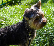 Yorkshire Terrier dog on the street Stock Images