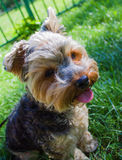 Yorkshire Terrier dog on the street Royalty Free Stock Photo
