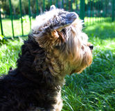 Yorkshire Terrier dog on the street Royalty Free Stock Photos
